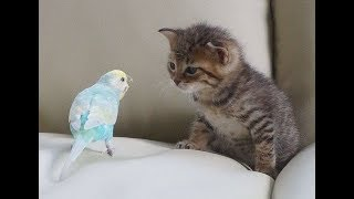 PARROTS Trying To Befriend KITTENS - Cute Kitten And Funny Parrot Videos Compilation 2018 [BEST OF]