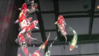 getlinkyoutube.com-Tategoi of Nishikigoi Niigata Direct