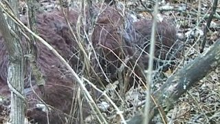 getlinkyoutube.com-Bigfoot Corpse Found 2016? (REAL PROOF/EVIDENCE THAT BIGFOOT/SASQUATCHES EXIST)