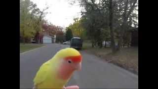 getlinkyoutube.com-lovebird free fly (free flight)