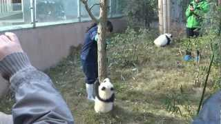 getlinkyoutube.com-Baby PANDAS climbing CUTE - Chengdu China