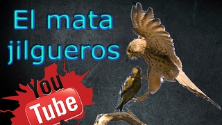 getlinkyoutube.com-El mata jilgueros