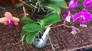 getlinkyoutube.com-PHALAENOPSIS ORCHID BASICS: WAYS TO REMOVE OLD BLOOM SPIKES FROM PHALAENOPSIS ORCHIDS