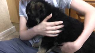 8 week German Shepherd Puppy - First time in new home