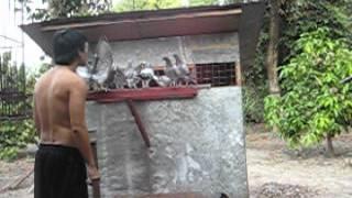 getlinkyoutube.com-RACING PIGEON PHILIPPINES ( i.dsign loft / Ivan Derriick Dizon).AVI