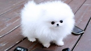 getlinkyoutube.com-Pomeranian Puppies cute pet pom poms cutiest pomeranians Dwarf Spitz puppy compilation Zwergspitz