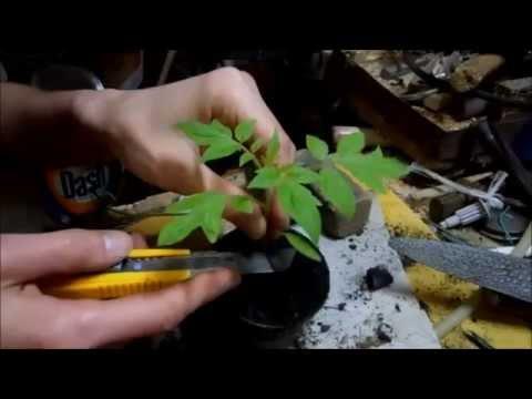 Come innestare le piantine di pomodoro, innesti di varietà di pomodoro