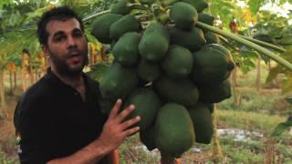getlinkyoutube.com-Papaya - Tropical Fruit Growers of South Florida