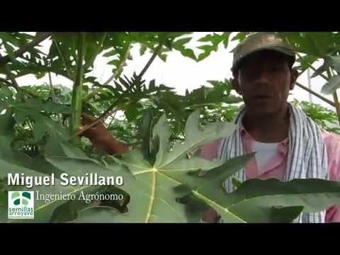 Técnica para determinar el género de la fruta hermafrodita en el cultivo de papaya (sexado)