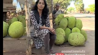 getlinkyoutube.com-NallaMannu - ലാഭം കൊയ്യാന് ചക്ക കൃഷി | Nallamannu 18 April 2015