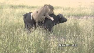getlinkyoutube.com-Lion attacks buffalo (Masai Mara, Kenya)