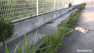 getlinkyoutube.com-【瀬戸の野良猫日記】ボス、次々と仲間は死んだ。どうする?