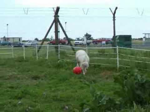 mini horse playing ball