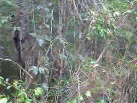Morador da floresta capturando um porco  do mato - na RESEX do Riozinho do Anfrisio- Amazônia