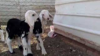 getlinkyoutube.com-sheep اغنام نجد صغيره منظر