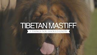 getlinkyoutube.com-TIBETAN MASTIFF FIVE THINGS YOU SHOULD KNOW