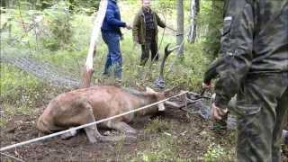 getlinkyoutube.com-Ratowanie jelenia