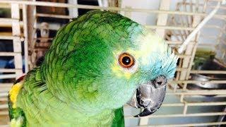 getlinkyoutube.com-Evil parrot cursing. WTF compilation. Amazon Green bird. Epic  Fail.