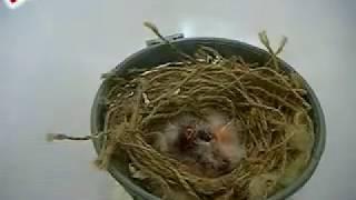 getlinkyoutube.com-الحلقة رقم 3   إطعام فراخ الكناري handfeesing canarybird