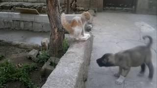 yavru kangal ve kedi kavgası