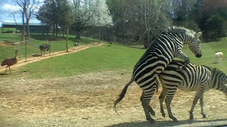 getlinkyoutube.com-Zebra Love