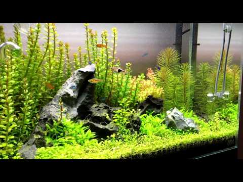 Nature Aquarium Aquascape, Peter's ADA 60P Iwagumi 1