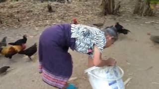 getlinkyoutube.com-Junglefows ไก่ป่าหูแดงในสวนมะนาวแป้นเกรียงไกร กับ แม่บุญเรือง ไทยอ่อน โทร.081-984-6526