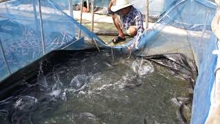 getlinkyoutube.com-เลี้ยงปลาดุก ด้วยกระชังบนดิน (1)