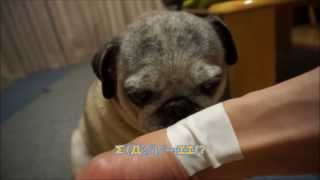 getlinkyoutube.com-パグが湿布の匂いを嗅ぐとこうなる! Pug