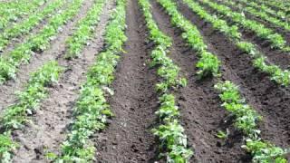 getlinkyoutube.com-выращивание картофеля 1