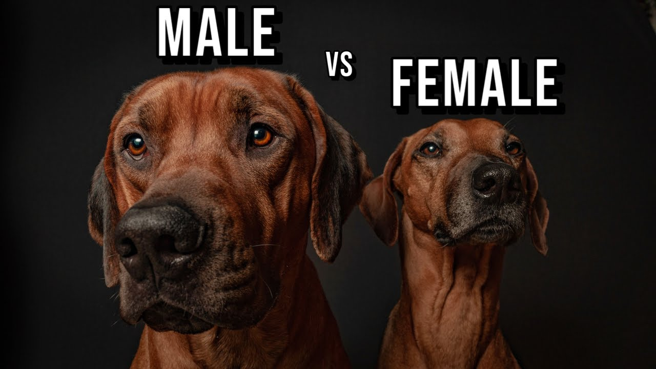 Male vs Female Rhodesian Ridgeback: Which One Should You Get? Video Thumbnail