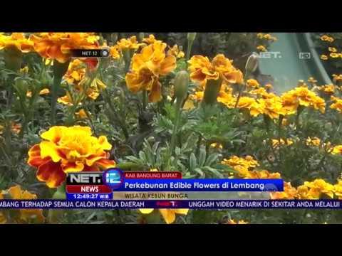Indahnya Warna-Warni Bunga di Rainbow Garden di Lembang - NET12