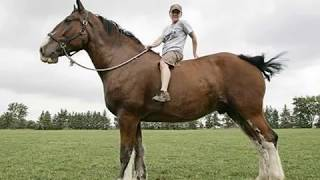 getlinkyoutube.com-Os maiores cavalos do mundo