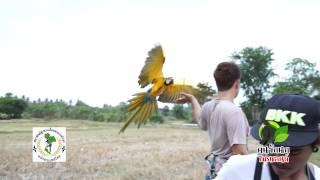 getlinkyoutube.com-ปล่อยบินอิสระ นกแก้ว มาคอร์ แอฟริกันเกรย์ เรดโนรี Teaser