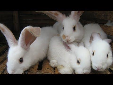 Ternak Kelinci - Budidaya Ternak Kelinci Hias Raih Jutaan Rupiah