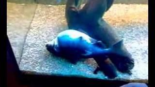 getlinkyoutube.com-Gulper catfish, asterophysus_batrachus