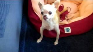 getlinkyoutube.com-Paco, the Talking Chihuahua