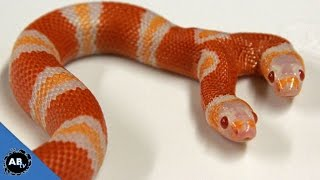 getlinkyoutube.com-Two Headed Freak Animals! SnakeBytesTV - Ep. 406 : AnimalBytesTV