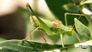 Crickets Nature Sound - Full 60 Minute Ambient Soundtrack