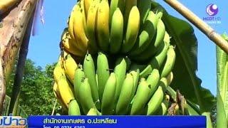 getlinkyoutube.com-เกษตรกรตรังโค่นต้นยางหันปลูกกล้วยหอมทองสร้างรายได้งาม   สำนักข่าวไทย อสมท