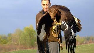 getlinkyoutube.com-Hunting with a Golden Eagle - Amazing short movie