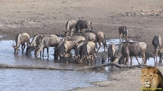 getlinkyoutube.com-Large Herd Of Thirsty Wildebeest Coming to Drink Water.