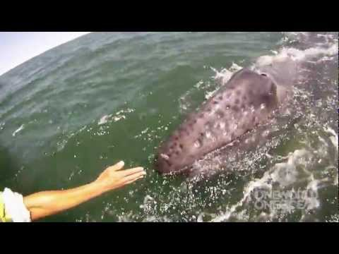 Incredible Whale Encounter - Mother Gray Whale Lifts Her Calf Out of the Water! [HD]