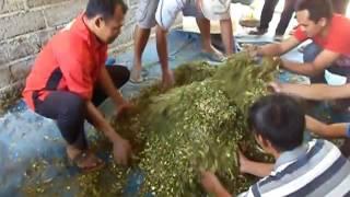 getlinkyoutube.com-proses fermentasi pembuatan pakan hijauan untuk di simpan