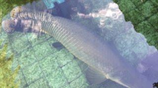 getlinkyoutube.com-อุต๊ะ ปลาตัวใหญ่เท่าจระเข้!  มาดูปลาช่อนอเมซอนยักษ์ ร้านข้าวแกงบ้านสวน Arapaima Gigas
