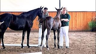 getlinkyoutube.com-Akinori, Charlotte's Creek Farm, Hilltop, Oldenburg Horse Breeders Society Inspection
