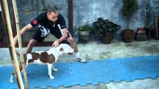 getlinkyoutube.com-Pit bull .. Panda.. Treinando