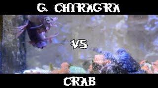 getlinkyoutube.com-Smasher Mantis Shrimp - Gonodactylus Chiragra VS Crab