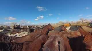 getlinkyoutube.com-Remuda-horses facing the rope * TS & Spanish Ranch, NV HD