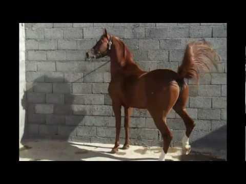 الفحل الحصان جلمود الخامس مصري بولش.wmv